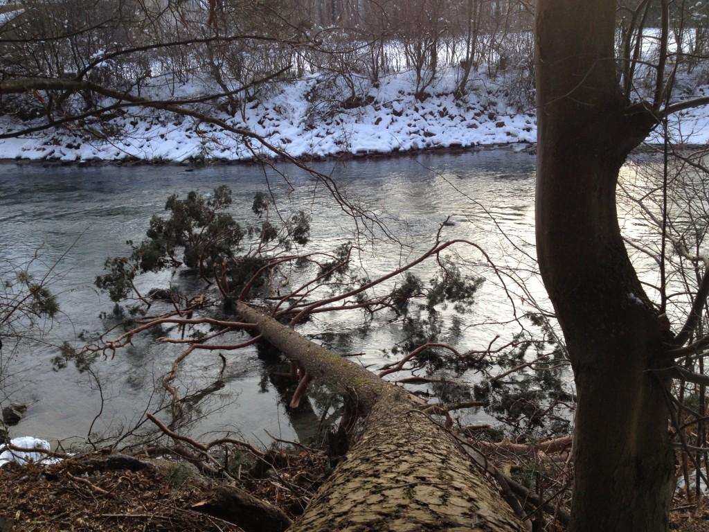 Umgestürzter Baum am Iselufer