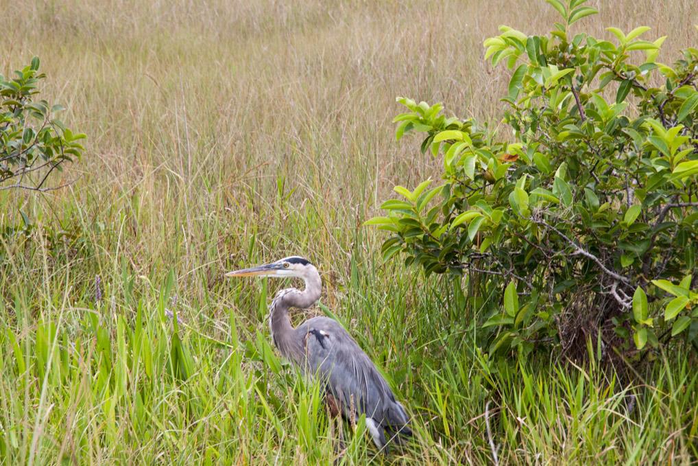 Everglades_Reiher