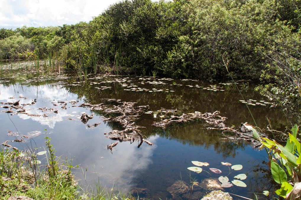 Everglades_Tümpel