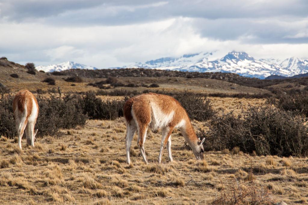 Guanakos im Nationalpark Torres del Paine