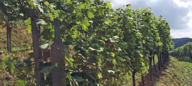 Terroir erleben: Unterwegs in den Weingärten der Südsteiermark
