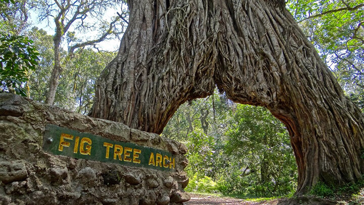 photo credit: mr.ahorn Fig Tree Arch via photopin (license)
