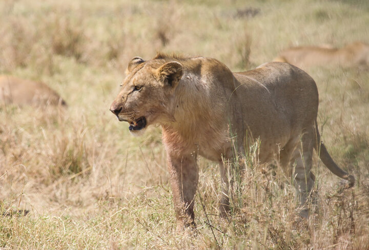 photo credit: Chris Parker2012 Female lion via photopin (license)