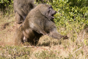 Aggressives Pavian-Männchen