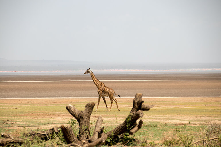 Giraffe am Lake Manyara in Tansania