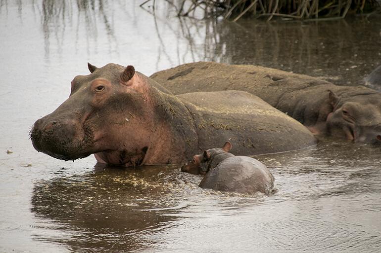 Nilpferd-Familie mit Baby-Hippo