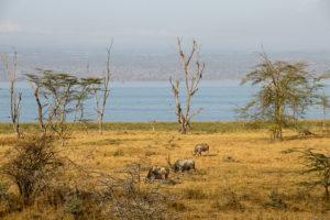 Büffel am Seeufer des Lake Nakuru