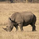 Nashorn im Lake Nakuru Nationalpark