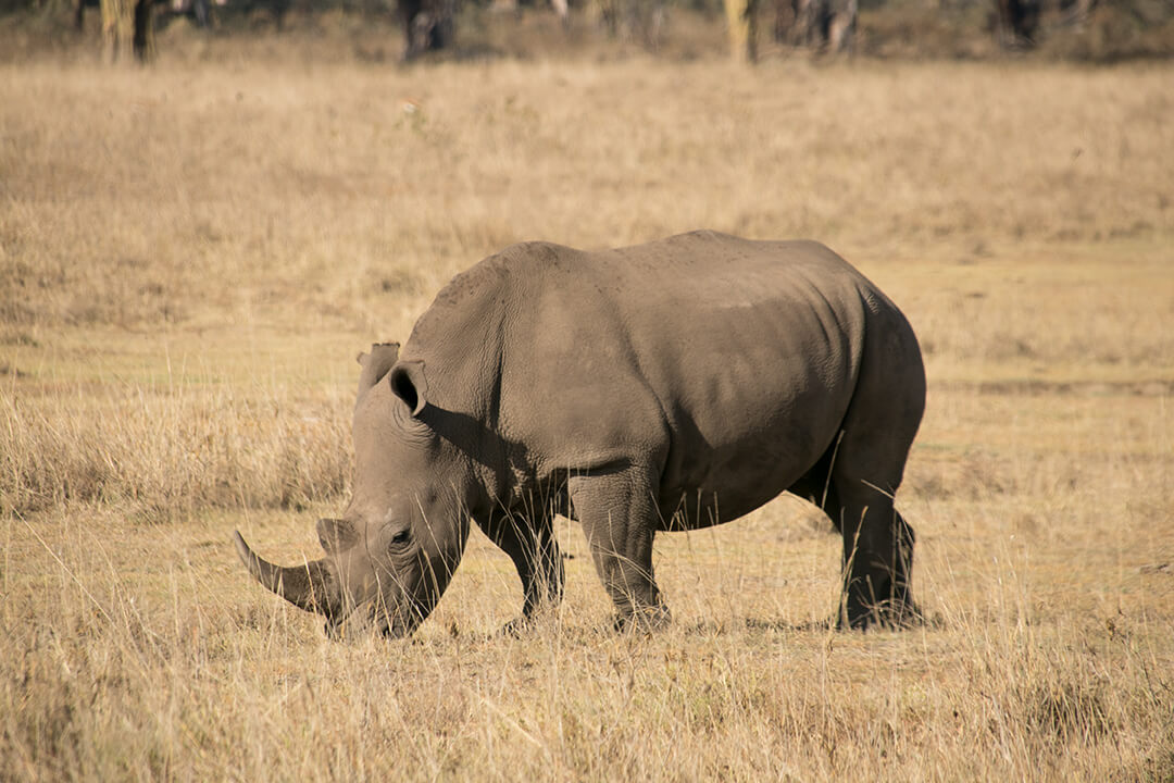 Nashorn im Lake Nakuru Nationalpark