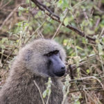 Pavian Lake Nakuru