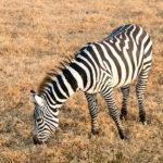 Zebra im Lake Nakuru Nationalpark