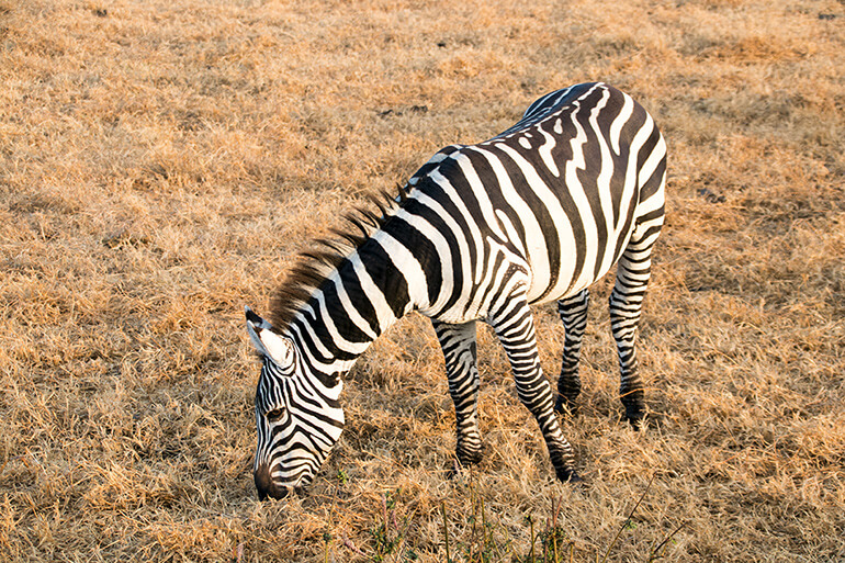 Zebra im Lake Nakuru Nationalpark