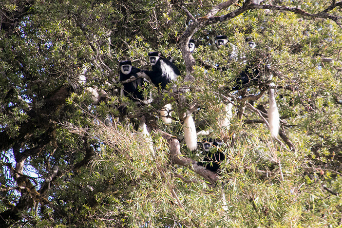 Colobus Affen im Aberdare Nationalpark in Kenia