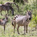 Zebra und Zebrafohlen