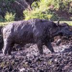 Büffel im Schlamm