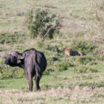 Büffel und Löwe im Ngorongoro Krater