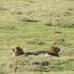 Löwen-Geschwister im Ngorongoro Krater