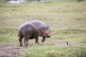Hippo im Ngorongoro Krater