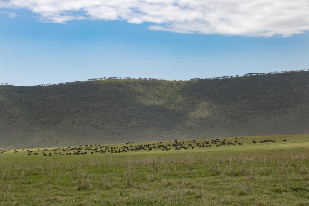 Ngorongoro Krater Tierherden vor Kraterrand