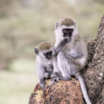 Affen im Ngorongoro Krater