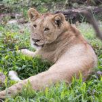 Junger Löwe im Ngorongoro Krater