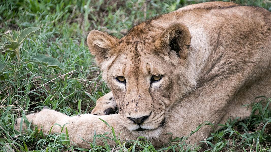 Löwe im Ngorongoro Krater