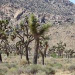Joshua Tree Nationalpark im Südosten Kaliforniens