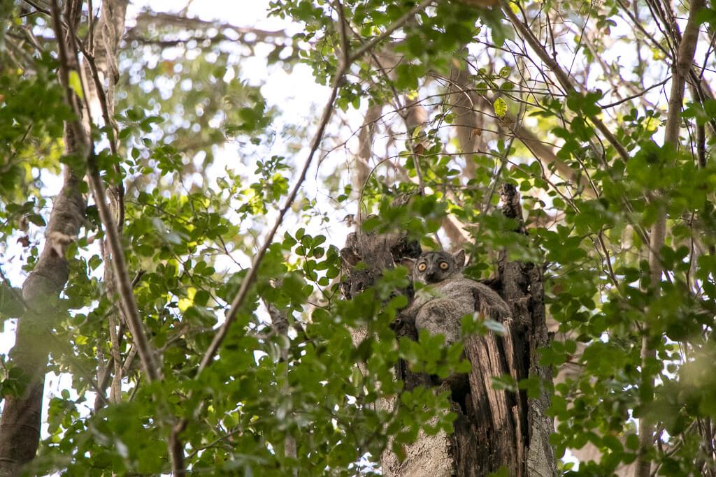 Lemur im Tsingy de Bemaraha Nationalpark