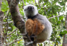 Sifaka Andasibe Mantadia Nationalpark