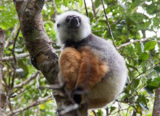 Sifaka Andasibe Mantadia Nationalpark