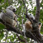 Sifakas im Andasibe Mantadia Nationalpark
