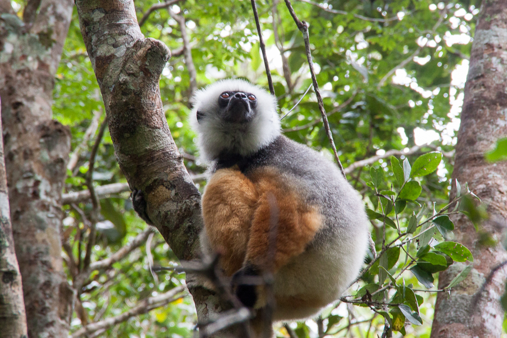 Sifaka im Andasibe Mantadia Nationalpark nahe