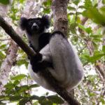 Indri im Andasibe Mantadia Nationalpark