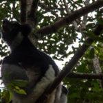 Lemuren heulen Andasibe Mantadia Nationalpark