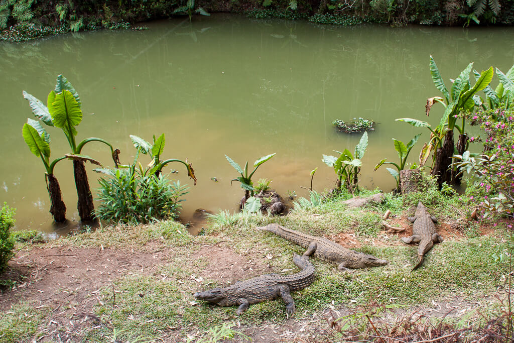 Andasibe Krokodile