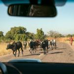 Zebu-Herde auf Madagaskars Straße