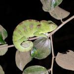 Grünes Chamäleon Madagaskar bei Nacht