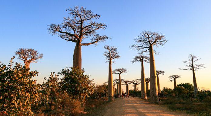 Baobaballee bei Morondava in Madagaskar