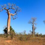 Affenbrotbäume in Madagaskar