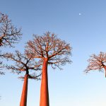 Baobabbäume in Madagaskar