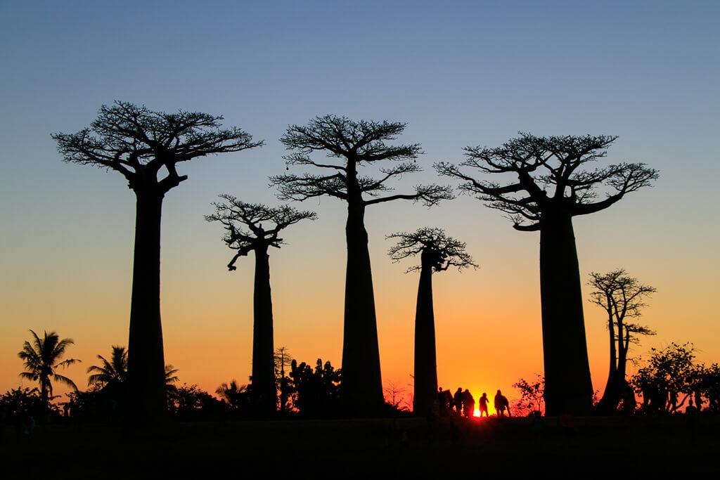 Silhouetten der Baobab-Bäume im Sonnenuntergang