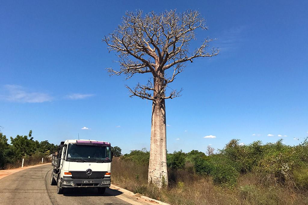 Unser erster Baobab Baum neben der Straße nach Morondava