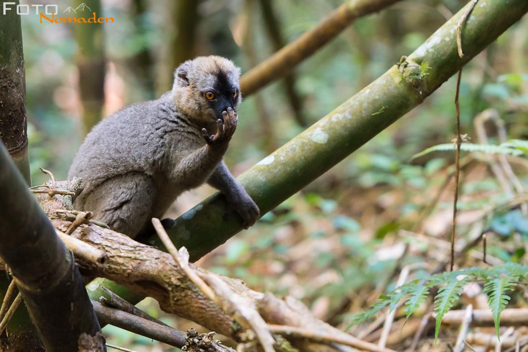 Bambuslemur in Madagaskar