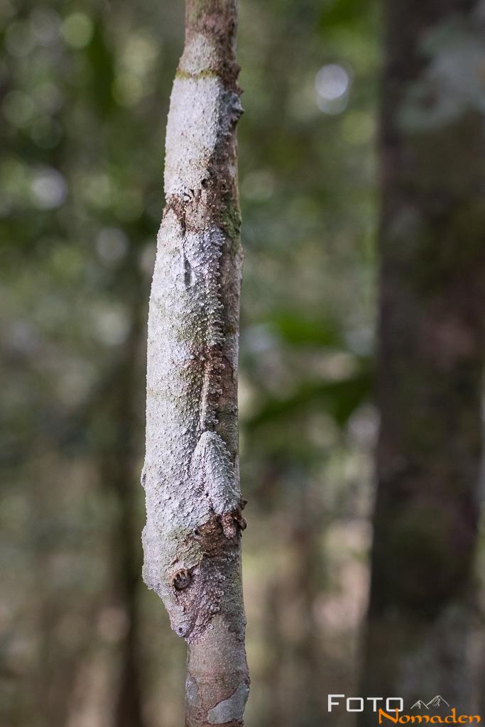 Madagaskar Blattschwanzgecko