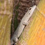Gecko in Madagaskar