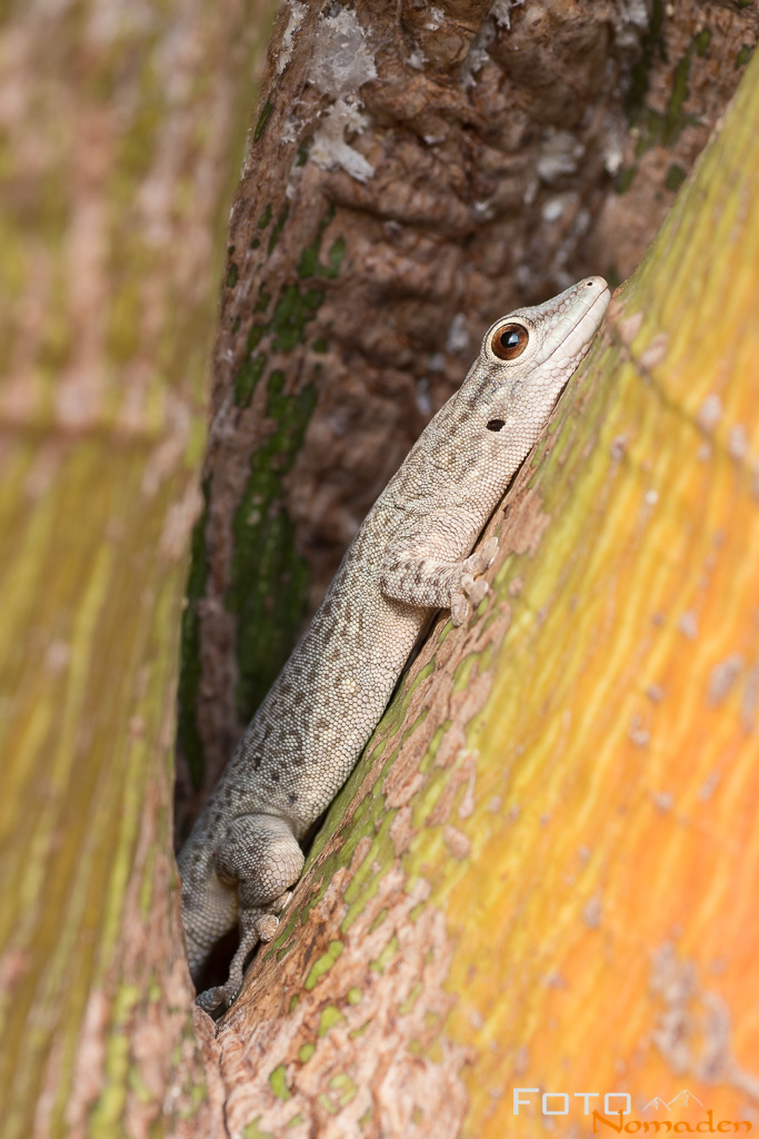 Gecko in Madagaskar