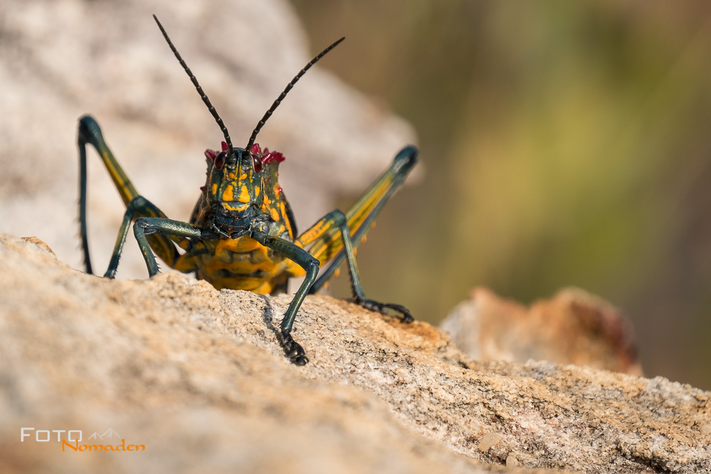 Heuschrecke in Madagaskar