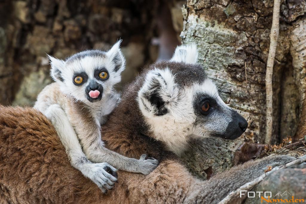 Katta Lemuren in Madagaskar