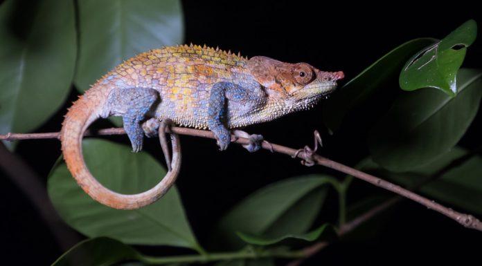 Madagaskar Tierfotografie - Chamäleon bei Nacht