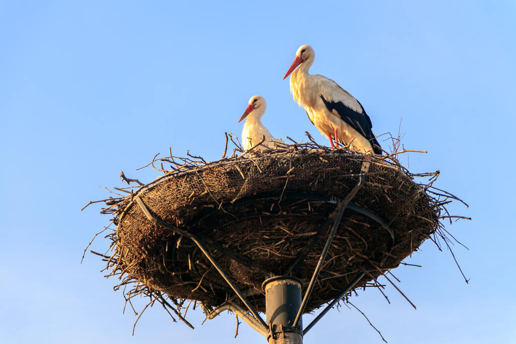 Storchennest in Apetlon am Neusiedler See